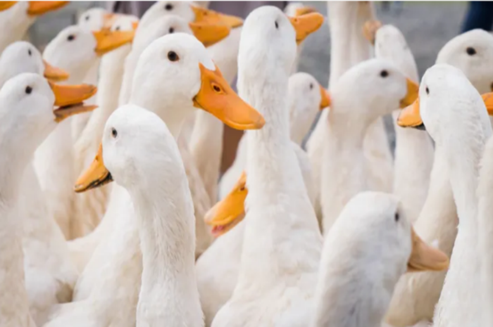 Duck Army Headed To Pakistan From China